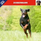 Kalender Dobermann 2018 - Affixe Editions - voorblad