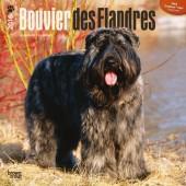 Kalender Bouvier des Flandres 2016